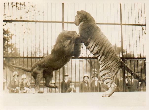 20120518143436-tigre-vs-leon.jpg