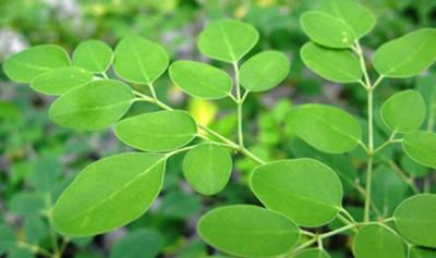 20120626142753-hojas-de-moringa.jpg