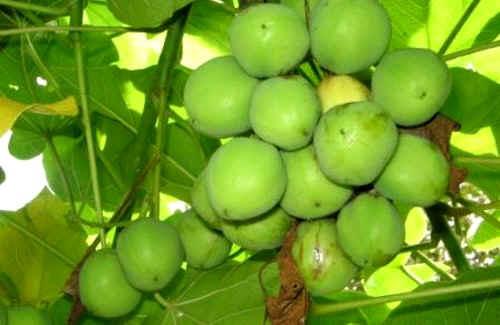 20120714131834-13ypc-jatropha-biodiesel.jpg
