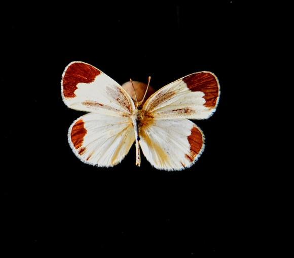 Las mariposas de Antonio Guerrero vuelan de Florence a La Habana