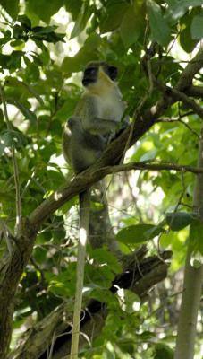 #Cuba Los monos fugitivos