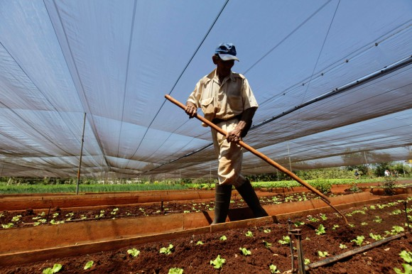 trabajador de 13, prepara la lechuga para crecer en una granja urbana de cooperación en las afueras de La Habana, 24 de marzo. Cuba ha iniciado la concesión de microcréditos a los nuevos agricultores que hayan arrendado tierras del estado, en una medida prevé un aumento de la producción de alimentos en retraso. (Desmond Boylan / Reuters)
