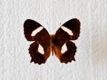 Anartia chysopelea